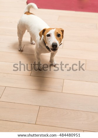 Jack Russell Terrier 10 months old portrait at home