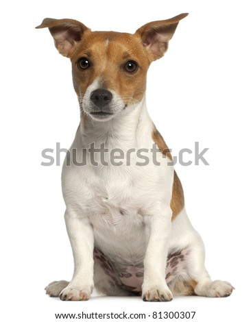 Jack Russell Terrier, 10 months old, sitting in front of white background - stock photo