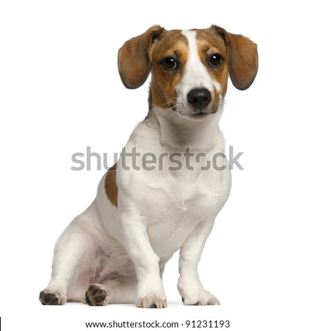 Jack Russell Terrier, 11 months old, sitting in front of white background - stock photo