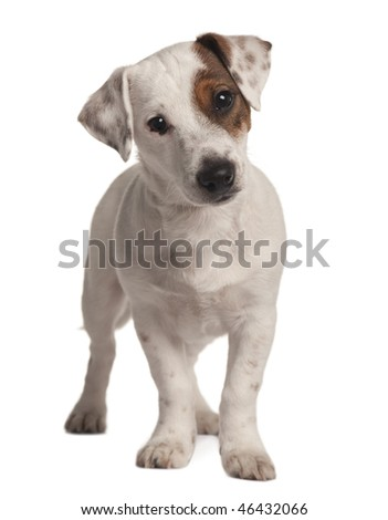 Jack Russell terrier, 4 months old, standing in front of white background - stock photo