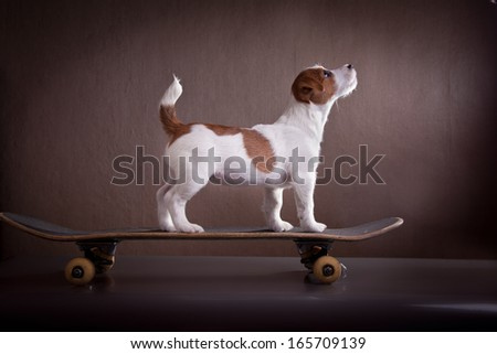 Jack Russell Terrier on a skateboard - stock photo