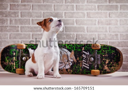 Jack Russell Terrier on a skateboard