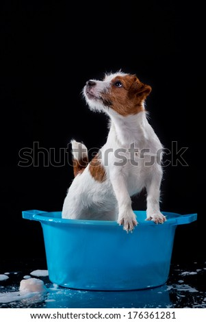 Jack Russell Terrier on black background, puppy, water, towel, soap - stock photo