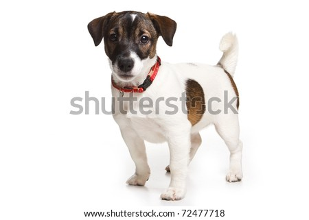 Jack Russell Terrier on white - stock photo