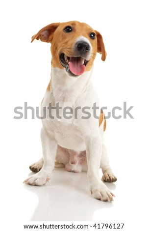Jack russell terrier on white background - stock photo