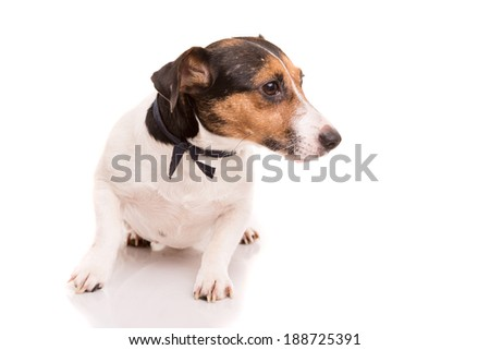 Jack Russell Terrier posing isolated over white background