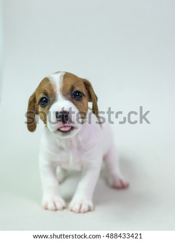 Jack Russell terrier puppies .cattle dog in bed whit pink color and isolate with white background.