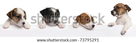Jack Russell Terrier puppies, 2 months old, getting out of a box in front of white background - stock photo