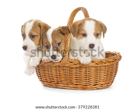 Jack Russell Terrier puppies sitting in a basket. Isolated on white background.