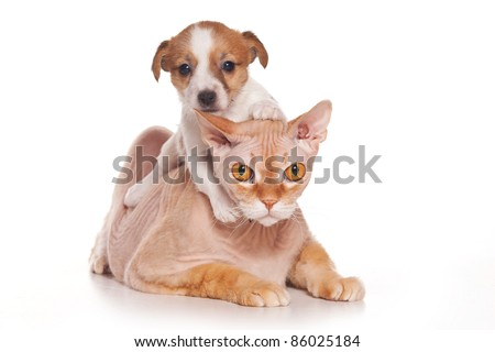 Jack Russell Terrier puppy and sphinx cat