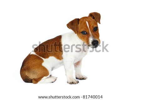Jack Russell Terrier puppy in front of white background - stock photo