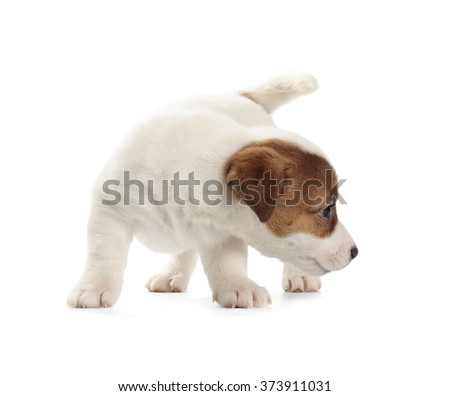 Jack Russell Terrier puppy isolated on white background.