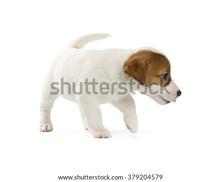 Jack Russell Terrier puppy isolated on white background. - stock photo