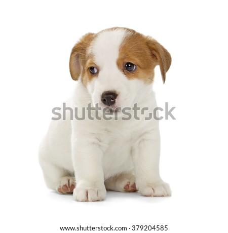 Jack Russell Terrier puppy isolated on white background. Front view, sitting. - stock photo