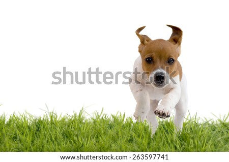 Jack Russell Terrier puppy jumping on meadow, isolated on white background - stock photo