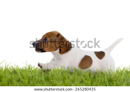 Jack Russell Terrier puppy jumps over a meadow isolated on white background - stock photo