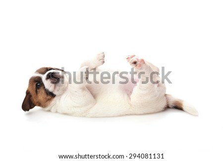 Jack Russell Terrier puppy lies paws up, 1 months old. Isolated on white - stock photo