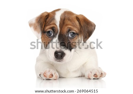 Jack Russell terrier puppy lying down in front of white background