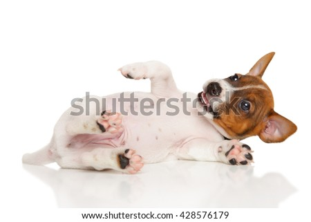 Jack Russell Terrier puppy lying in front of white background - stock photo