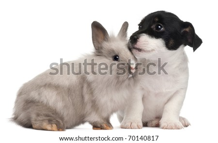 Jack Russell Terrier puppy, 2 months old, and a rabbit, in front of white background - stock photo
