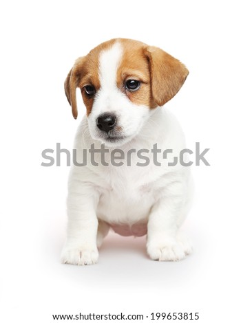 Jack Russell Terrier puppy, 2 months old. Isolated on white - stock photo