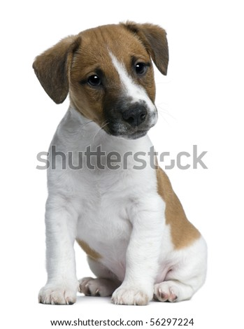 Jack Russell Terrier puppy, 2 months old, sitting in front of white background - stock photo