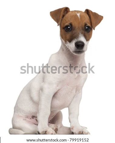 Jack Russell Terrier puppy, 3 months old, sitting in front of white background - stock photo