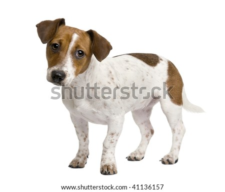 Jack Russell Terrier puppy, 7 months old, standing in front of a white background - stock photo
