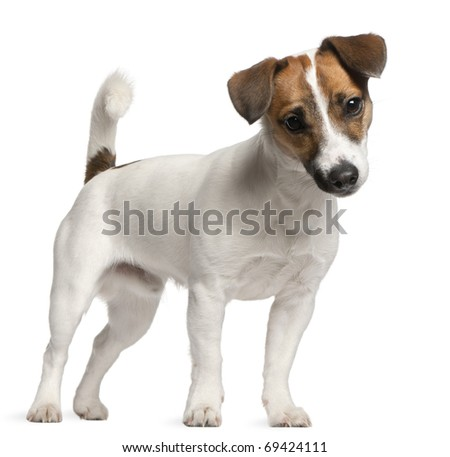 Jack Russell Terrier puppy, 7 months old, standing in front of white background - stock photo