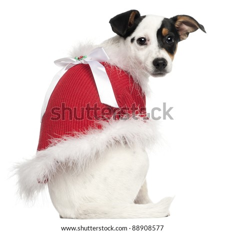 Jack Russell Terrier puppy, 5 months old, wearing a Christmas jumper in front of white background - stock photo