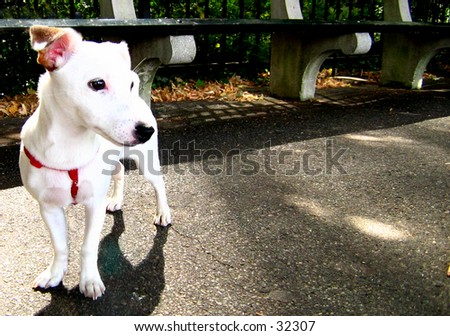 Jack Russell Terrier Puppy (1 of 2 Photo) - stock photo