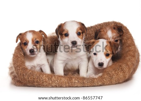 Jack Russell Terrier puppy on white - stock photo