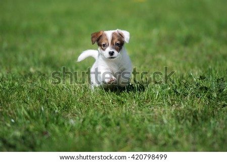 jack russell terrier puppy playing outdoors