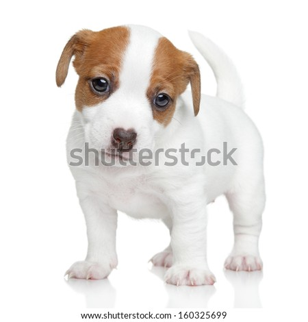 Jack Russell terrier puppy posing on a white background