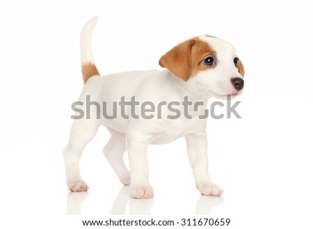 Jack Russell terrier puppy posing on white background - stock photo