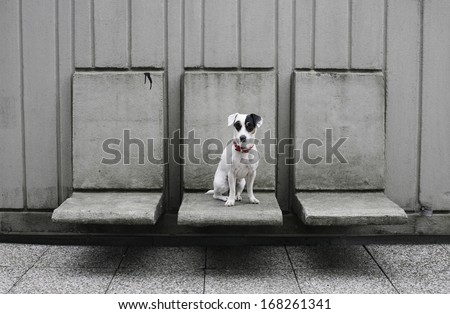 Jack Russell terrier puppy siting on concrete chairs, dog on gray background