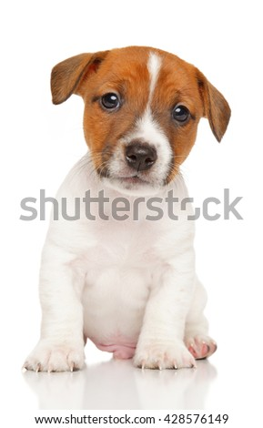 Jack Russell Terrier puppy sits on a white background - stock photo