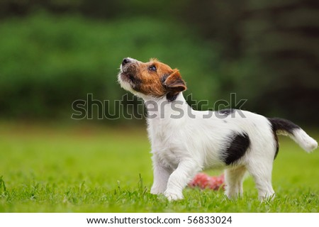 Jack Russell Terrier puppy 11 weeks in the grass discovers the world - stock photo