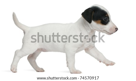 Jack Russell Terrier puppy, 7 weeks old, walking in front of white background - stock photo