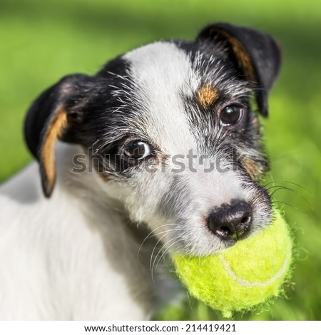 Jack Russell Terrier puppy with ball - stock photo
