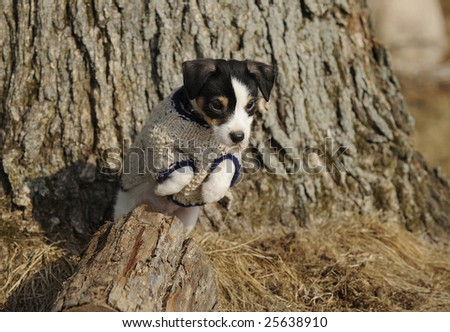 Jack Russell Terrier puppy with coat on outdoors. - stock photo