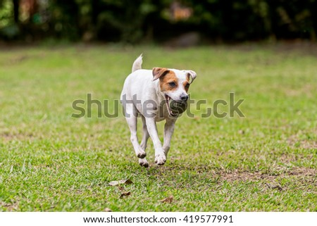 Jack Russell Terrier Purebred Dog
