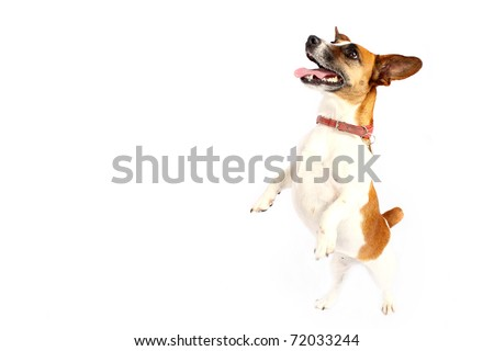 Jack Russell Terrier reaching up - stock photo