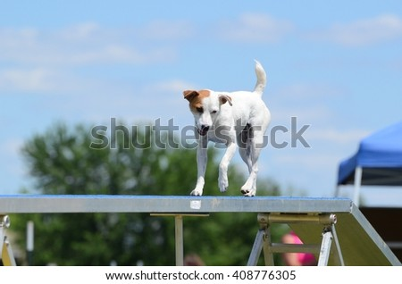 Jack Russell Terrier Running on a Dog Walk at a Agility Trial - stock photo