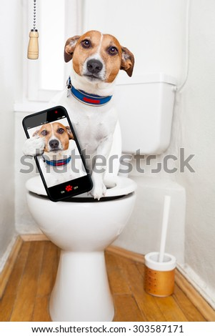 jack russell terrier, sitting on a toilet seat with digestion problems or constipation looking very sad, taking a selfie - stock photo