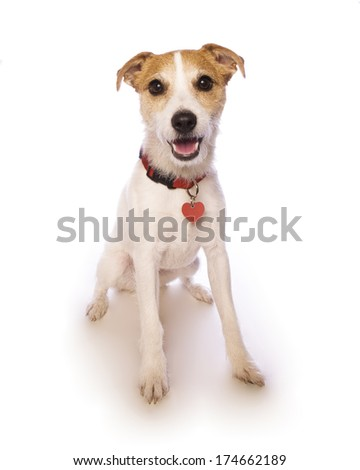 Jack russell terrier sitting smiling at camera  isolated on white background - stock photo