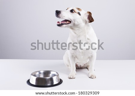 Jack Russell terrier waiting for food. - stock photo