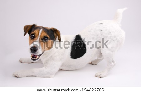 Jack Russell terrier wants to play