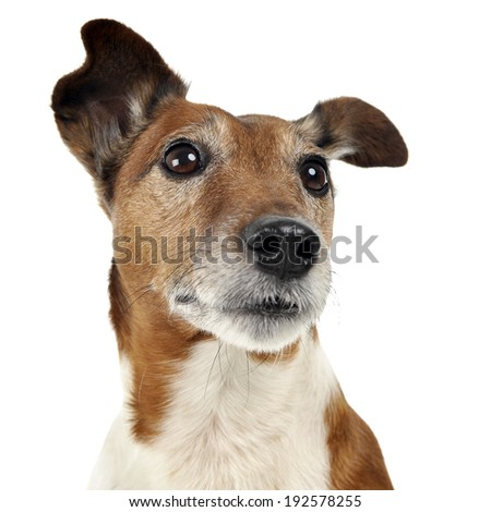 Jack Russell Terrier watching