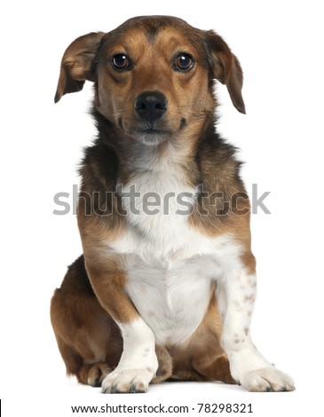 Jack Russell Terrier, 2 years old, sitting in front of white background